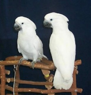 Lovely Pair of male and female Umbrella Cockatoos for Sale.Email