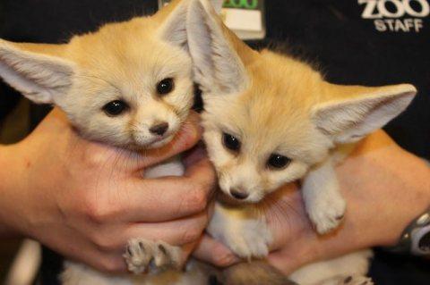 fannc fox  ( فنك فوكس )