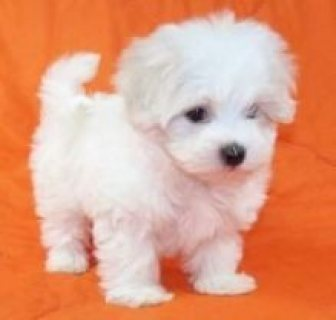 Standard size Teacup Maltese puppies