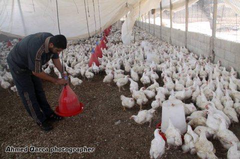مزرعه دواجن للبيع ( زلط اون لاين )
