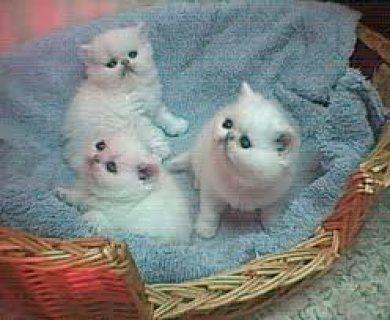 AkC registered Persian kittens for cheap adoption