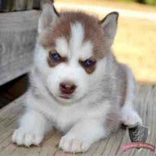 صور Precious Micro Siberian Husky Female Available 1