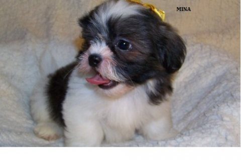 Friendly and adorable Shih Tzu Puppies for Sale
