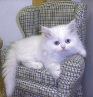 Absolutely Beautiful Persian Kitten