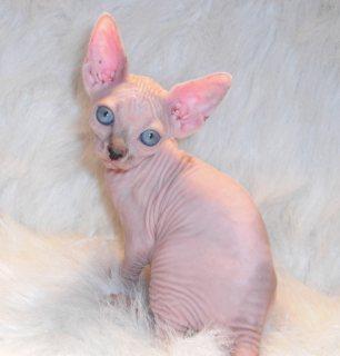 Lovely sphynx kittens for new homes