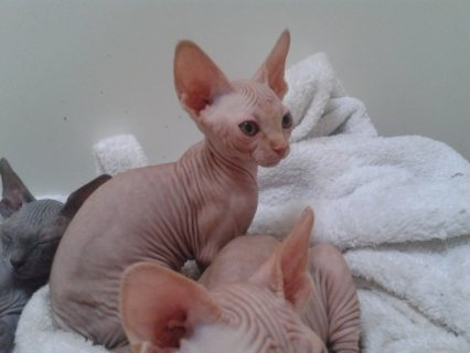 Blue Eyed Sphynx Kittens Ready Now