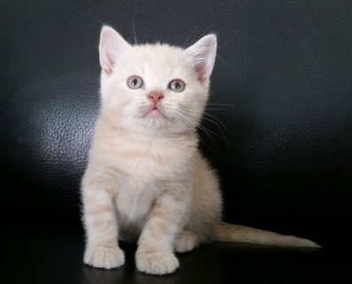 adoption   British short hair Kitten Available