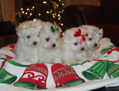 Maltese Puppy for adoption contact Kimberlycribbs98>@>g>m>a>i>l>