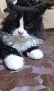 قطط شيرازى للبيع تربيه بيتى عمرهم ثلاث شهور ولد وبنت