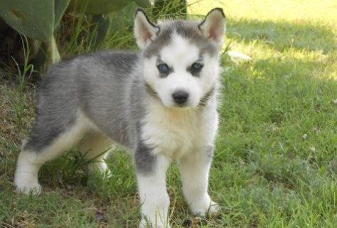 Lovely beautiful siberian husky puppy for sale