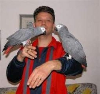 Adorable Talking African Grey Parrots for Sale
