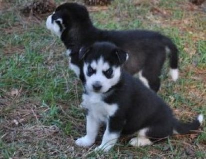 Blue Eyes Siberian Husky Puppies for sale.,,.,.,..,.,.,.,.,
