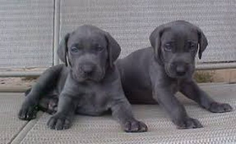 Beautiful Weimaraner Puppies for sale