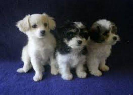 Havanese Puppies For sale/..//