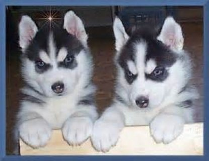 Male and female Siberian husky puppies available for sale.......