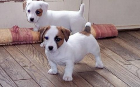 Adorable Little Jack Russell Puppies for sale...............