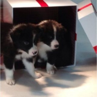 Male and female Border Collie Puppies for Sale.....