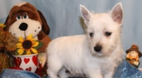 West Highland White Terrier Puppies For Sale .