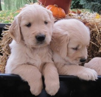 Golden Retriever puppies for sale now at affordable price
