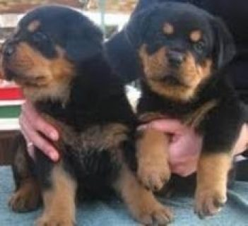 AKC registered Rottweiler puppies for sale (1 male, 1 female).