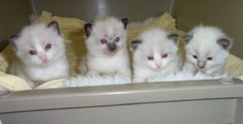 Ragdoll kittens for sale.....
