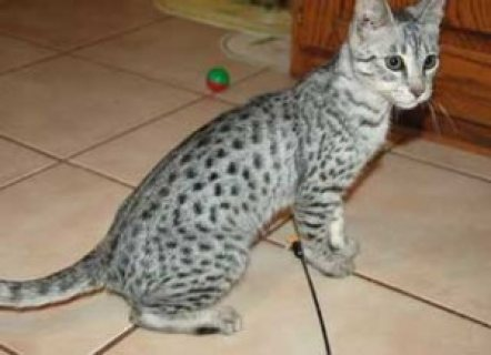 صور Male and female Savannah Kittens for Adoption 1