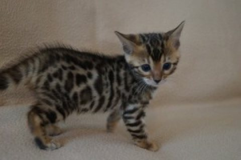 We have a litter of 5 beautiful Bengal kittens