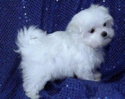 Charming male and female Maltese Puppies For Sale