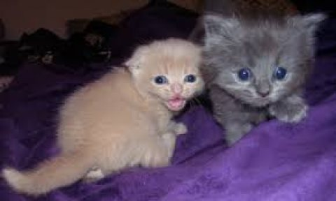 Adorable male and female Scottish Fold Kittens for sale....