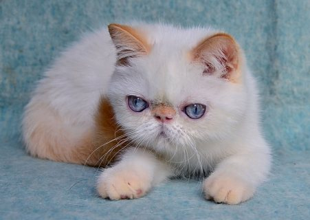 Persian, Exotic, Hymalayan kittens and cats