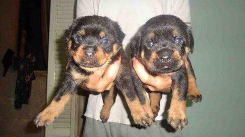Champion.. rottweiler Puppies