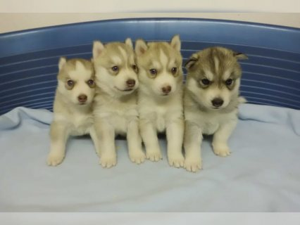 Afectionate Siberian Husky Puppies for x mass adoption Email Me