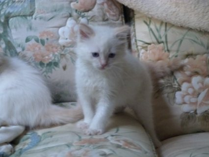 صور Adorable Ragdoll Kittens 1