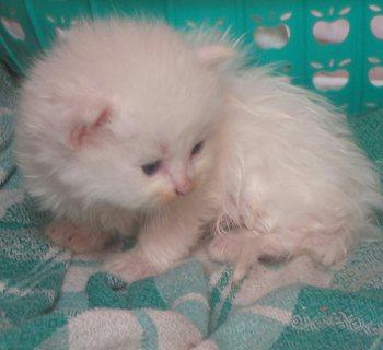 قطط شيرازي من سلالات اصليه