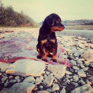 Germany Rottweiler 4 sell