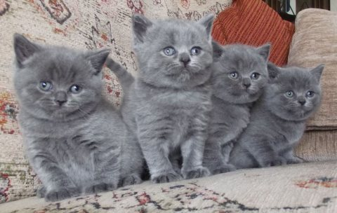 Good Temperament British short hair Kittens Available