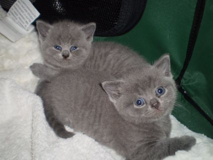 BSH Kittens - Tica Registered - Ready to Go