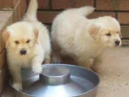 Golden Retriever Puppies for rehoming