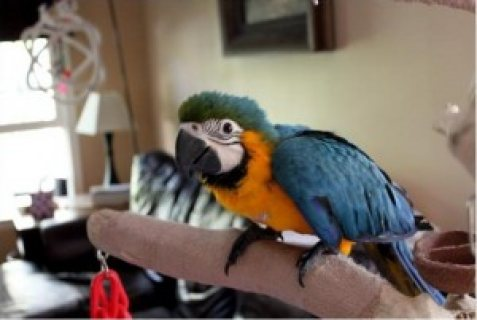 صور Talking Pair of Blue and Gold Macaw Parrots for Adoption 1