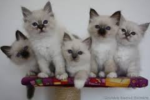 صور Cute male and female Birman kittens ready for sale 1
