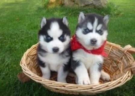 Blue Eyes Siberian Husky Puppies Ready For Adoption....