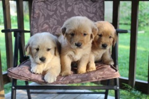 Cute male and female Golden Retriever Puppies for sale...