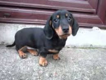 Dachshund Puppies for sale..,.