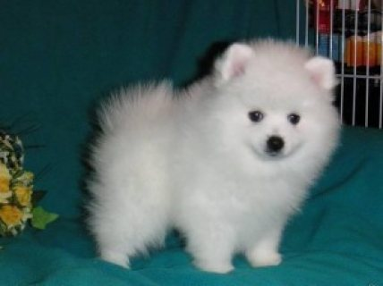 صور Cute male and female Teacup Pomerania Puppies for sale..contact  1