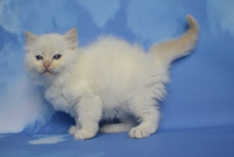 (elenayasemin30@gmail.com) ,.Beautiful Full Pedigree Ragdoll Mal