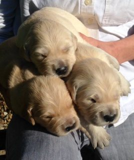 Stunning Kc Reg Golden Retriever Puppies