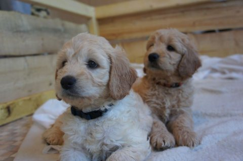 Stunning F1 Miniature Goldendoodle Kc Reg Parents