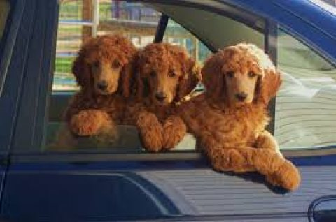 Cute Standard Poodle Puppies for sale