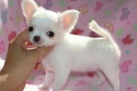 Wonderful Chihuahua Pups Available for sale