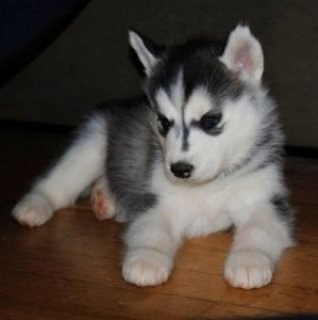 Siberian Husky Dogs for sale.